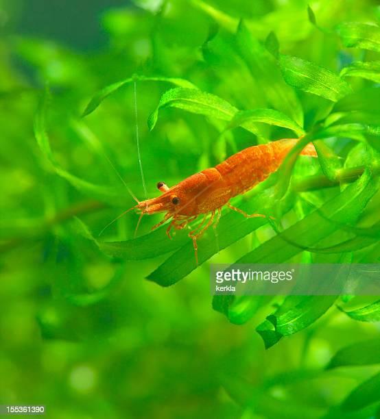 Red Sakura Dwarf Shrimp on waterweed