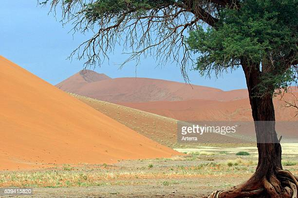 red sand dune dunes camelthorn tree Sossusvlei Namib desert Namibia South Africa African arid landscape