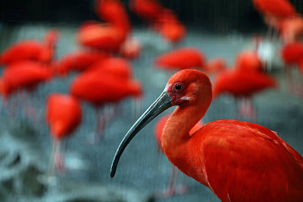 Red Scarlet Ibis Bird