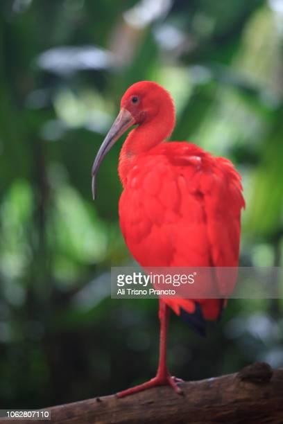 red scarlet ibis bird, singapore - jurong bird park stock pictures, royalty-free photos & images