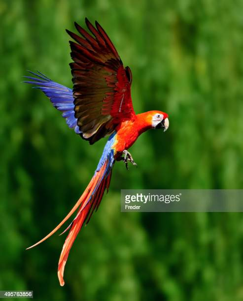 red scarlet macaw in flight