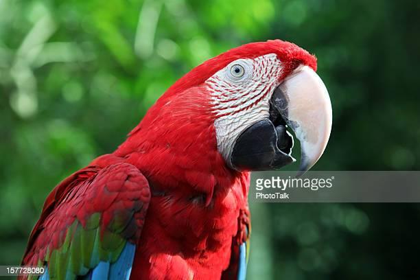 rouge ara rouge parler - perroquet photos et images de collection