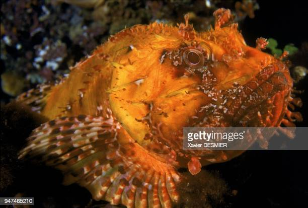 Red scorpionfish or Chapon Nature reserve of Scandola in the Mediterranean Scorpionfish is a dangerous fish Rascasse rouge ou Chapon Réserve...