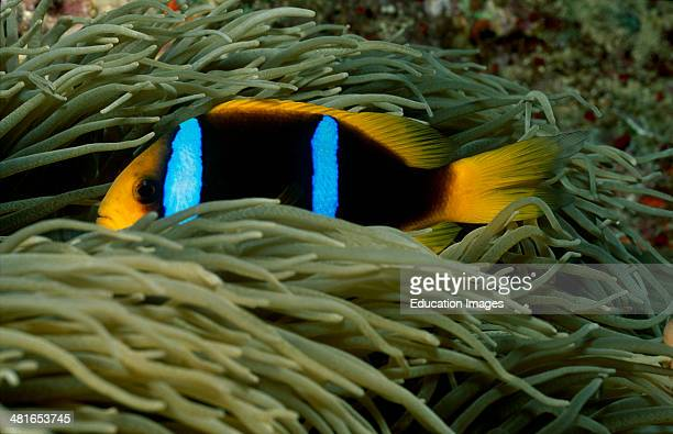 Red Sea anemone fish Amphiprion bicinctus with Anemone The small fish are between the tentacles of the Anemone reinforced with nettle cells Here they...