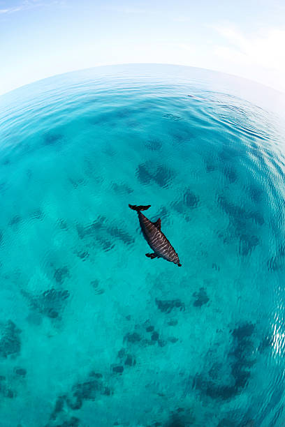 Red Sea Bottlenose Dolphin