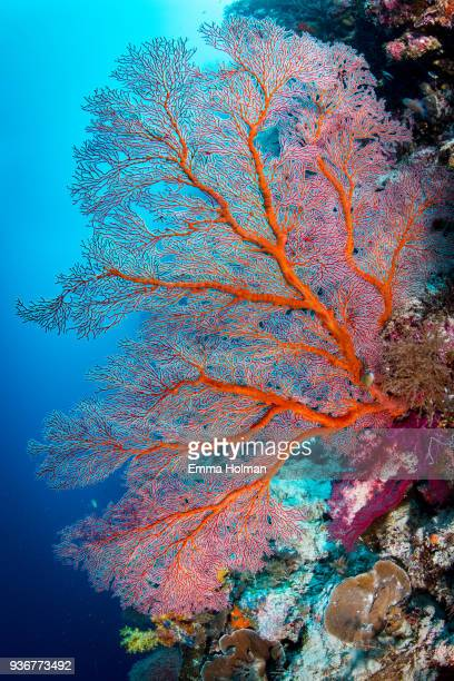 red sea fan - reef stock pictures, royalty-free photos & images