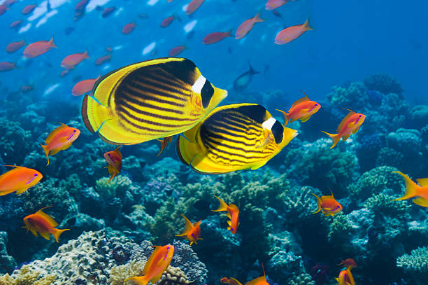 Red Sea raccoon butterflyfish
