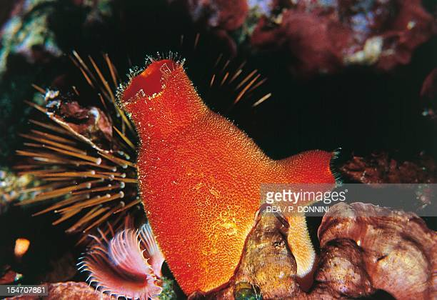 Red Sea Squirt , Pyuridae.