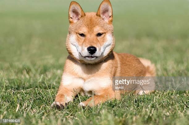 レッド柴犬犬子犬犬
