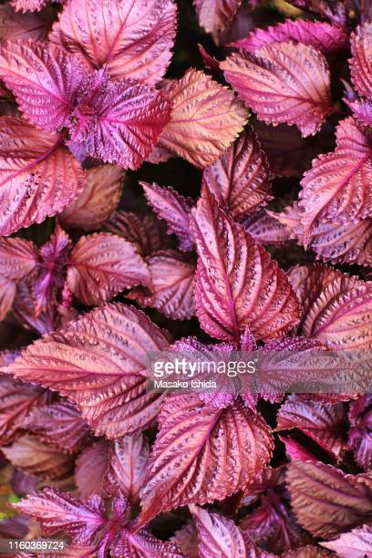 red shiso -red perilla - shiso stock pictures, royalty-free photos & images