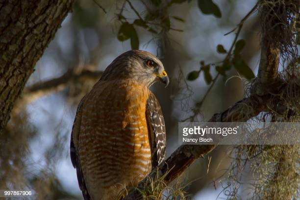 red shouldered hawk at daybreak - nancy hunt stock pictures, royalty-free photos & images