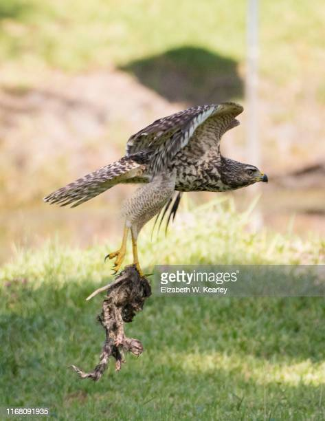 red shouldered hawk flying with a dead opossum - opossum stock pictures, royalty-free photos & images