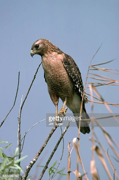red shouldered hawk on a branch - anhinga_trail photos et images de collection