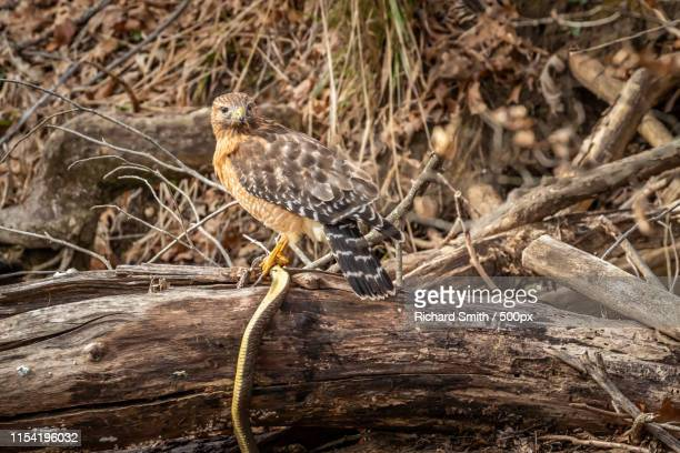 Red Shouldered Hawk (Buteo Lineatus) With Its Prey - A Snake