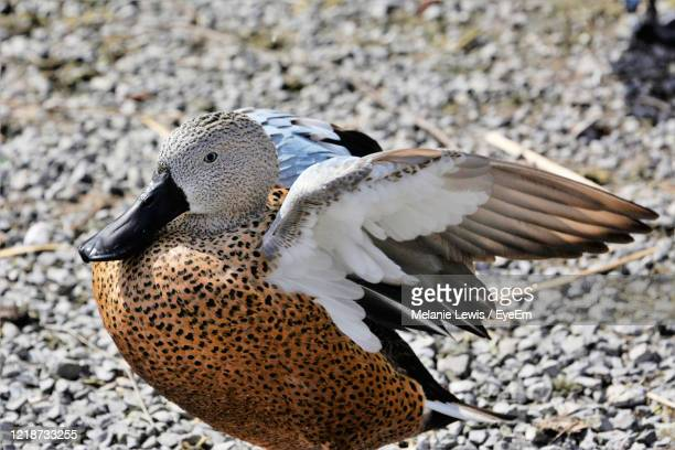 red shoveler close up - llanelli stock pictures, royalty-free photos & images