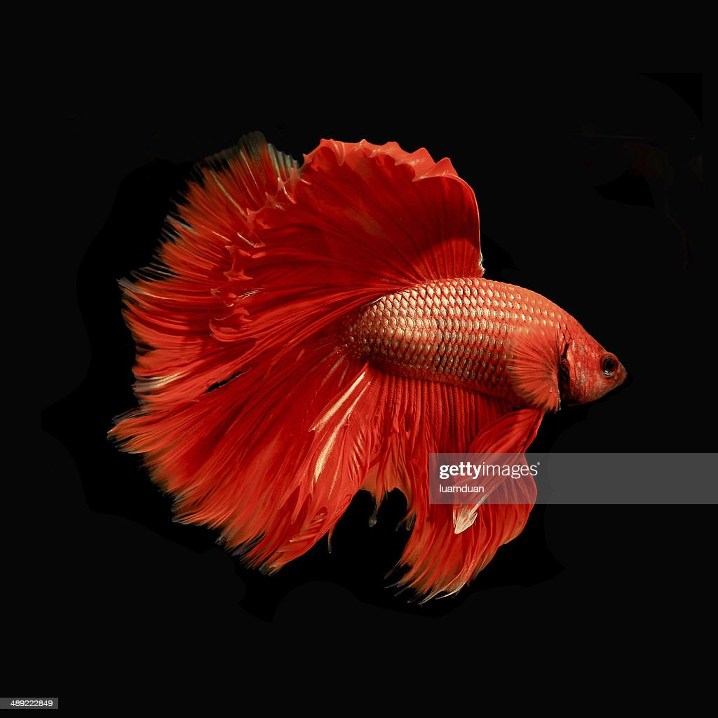 Red Siamese Fighting Fish Stock Photo | Getty Images