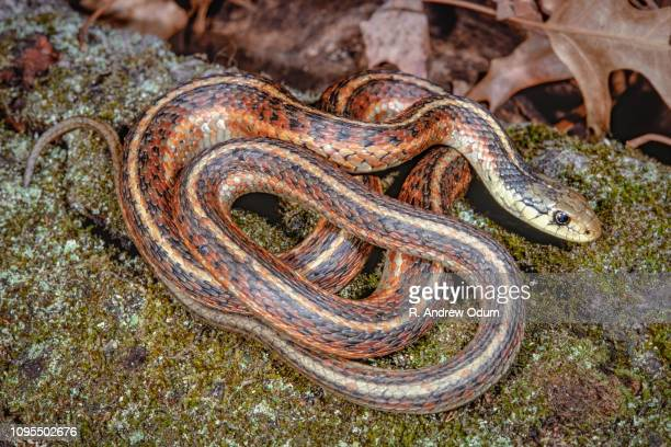 red sided garter snake - garter snake stock pictures, royalty-free photos & images