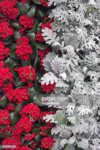 Red & Silver Halves - plant design