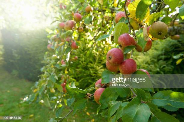 red skinned apples on a tree in an orchard. - appelboom stockfoto's en -beelden