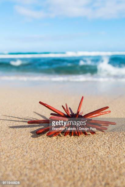 A Red Slate Pencil Urchin (Heterocentrotus Mamillatus) Sounds On The Sand At The Beach