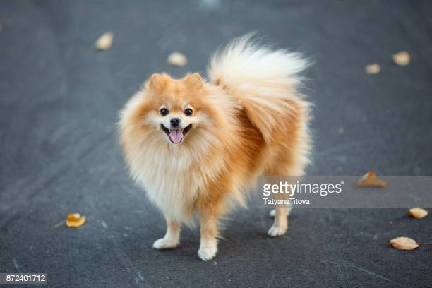red small german spitz walking in the autumn park. symbol of the year 2018