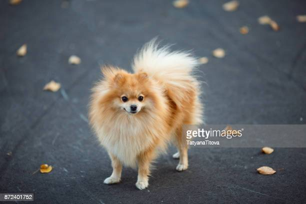red small german spitz walking in the autumn park. symbol of the year 2018 - pomeranian stock photos and pictures