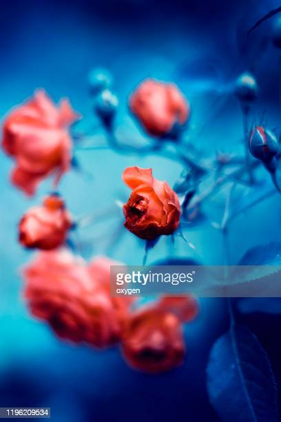 red small roses on classic blue background - bunch stock pictures, royalty-free photos & images