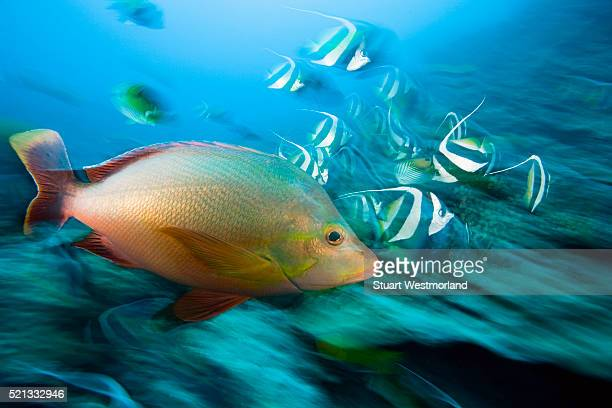Red Snapper and Bannerfish