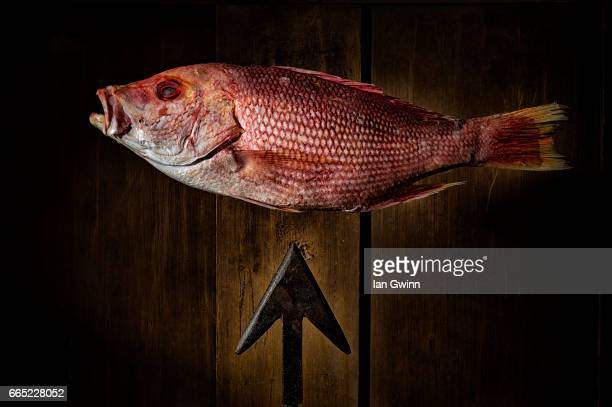 red snapper and harpoon - ian gwinn stock photos and pictures