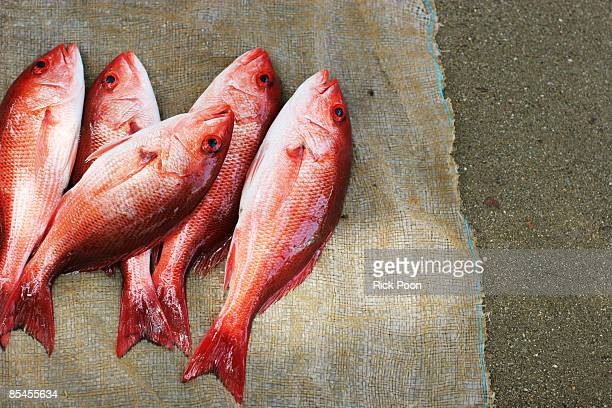 Red snapper on burlap