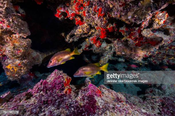 Red snapper swimming through a grotto in Grand Cayman, Cayman Islands.
