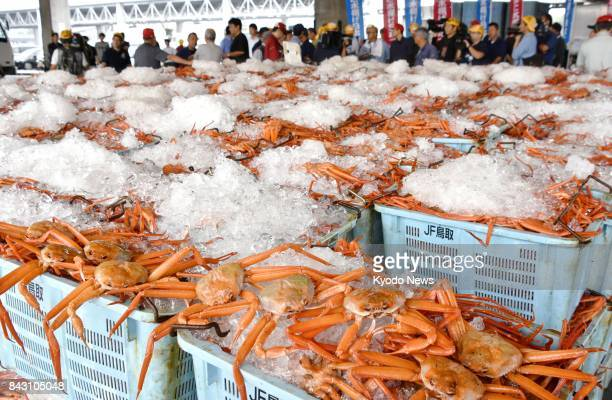 Red snow crabs are landed on a port of the western Japan city of Sakaiminato on Sept 6 for the first time this season The crabs are renowned as an...