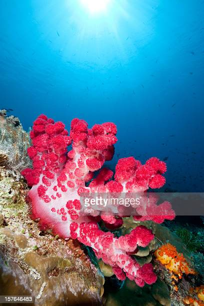 red soft coral beauty in blue, komodo national park, indonesia - indo pacific ocean stock pictures, royalty-free photos & images