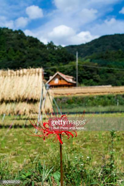 red spider lilies at rice field - satoyama scenery stock pictures, royalty-free photos & images