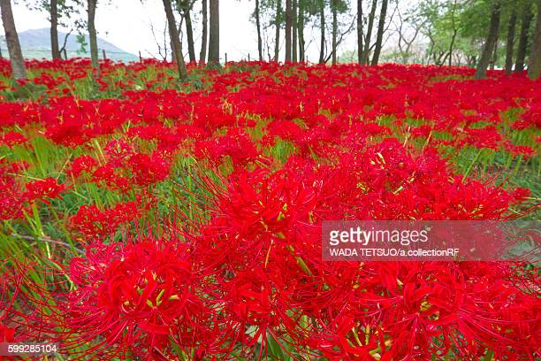 Red spider lilies in bloom