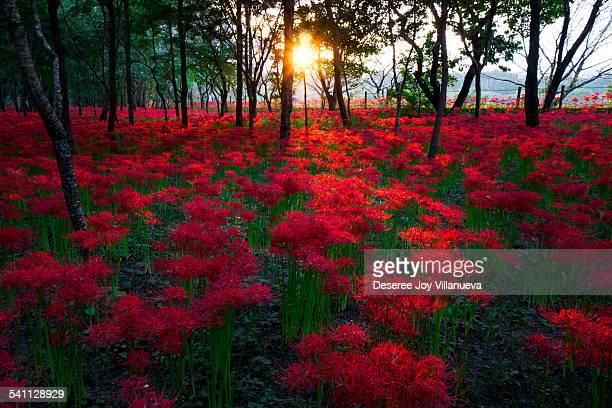 red spider lilies - 埼玉県 ストックフォトと画像