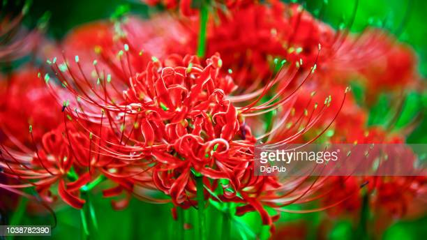 red spider lily - higanbana - reincarnation - amaryllis stock pictures, royalty-free photos & images
