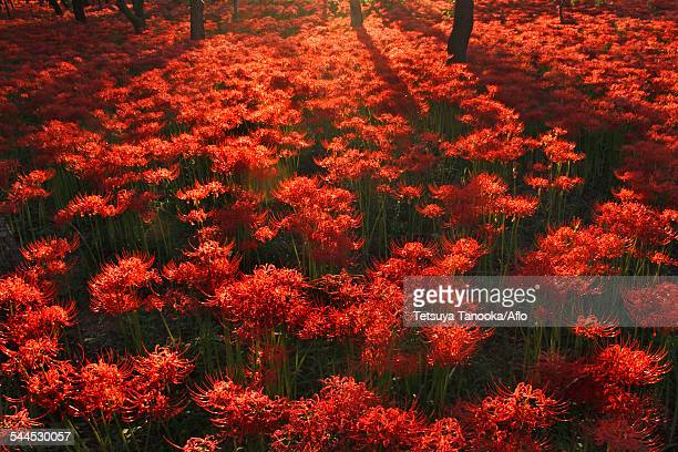 red spider lily - saitama prefecture stock pictures, royalty-free photos & images