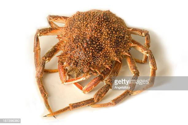 red spiny spider crab - spider crab stock photos and pictures