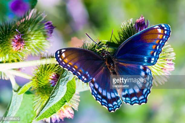 red spotted admiral - vlinder stockfoto's en -beelden