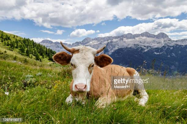 red spotted cow lying on grass in a pasture on the alps - clima alpino foto e immagini stock