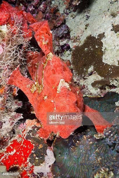 Red Spotted Frogfish Antennarius pictus North Ari Atoll Maldives