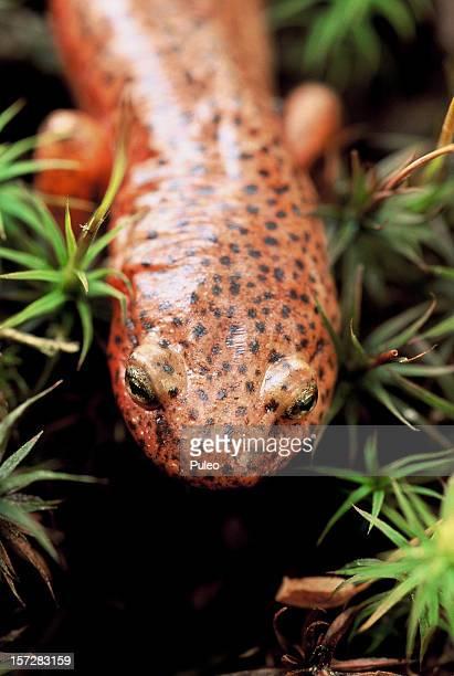 Rotflecken-Salamander
