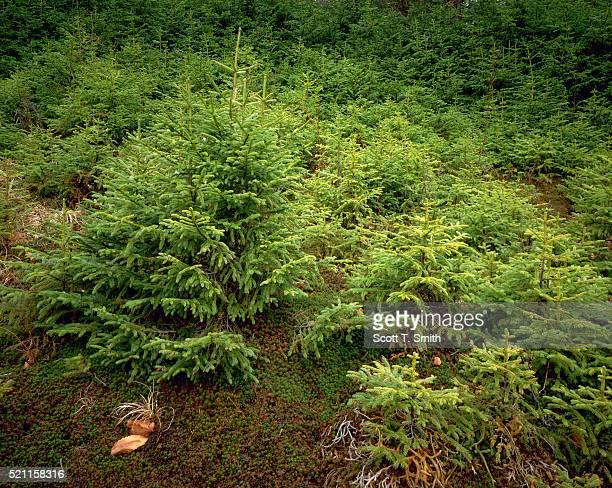 Red Spruce Saplings