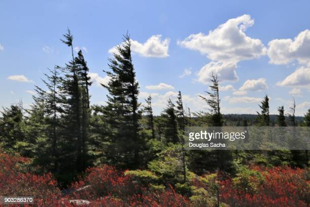 Red Spruce trees along the landscape