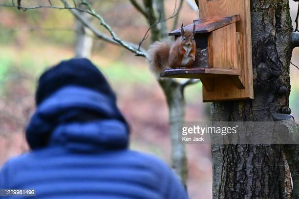 Red squirrel and a visitor observe each other at the RSPB's Loch Leven nature reserve, on December 6, 2020 in Kinross, Scotland.