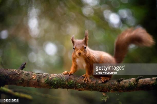 red squirrel at snaizeholme in north yorkshire - linda rama fotografías e imágenes de stock
