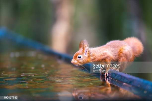 red squirrel beside water in a woodland setting - johnfscott stock pictures, royalty-free photos & images