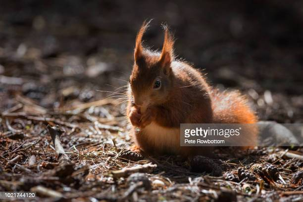 red squirrel caught in a patch of light - tree squirrel stock photos and pictures
