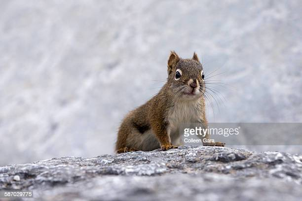 Red Squirrel Climbing Rock Face